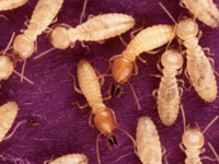 防蟻処理:ホウ素
